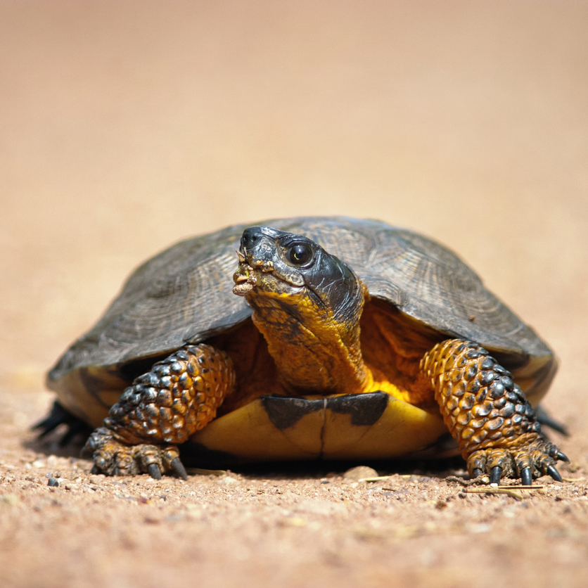 Photo of a Wood Turtle