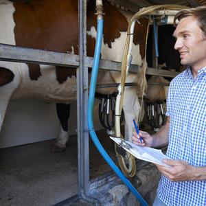Image of man checking on the milk levels of cows
